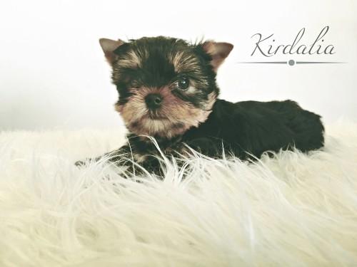 Cachorros Kirdalia Yorkshire Terrier1