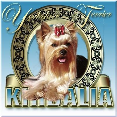 Kirdalia Yorkshire terrier Madrid