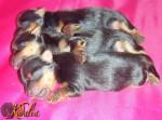 Kirdalia Yorkshire Pediatria Canina (Neonatales)