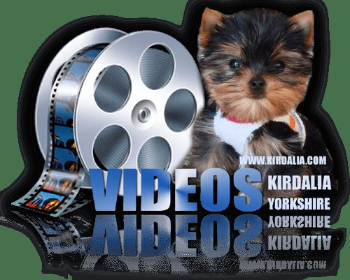 Los mejores Yorkshire Terrier del mundo