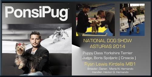 National Dog Show CAC Asturias Puppy class Yorkshire Terrier Judge, Boris Spoljaric ( Croacia ) Ryan Lewis Kirdalia MB1