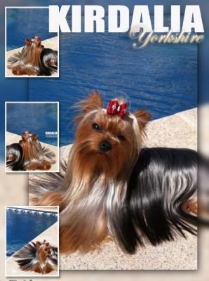 kirdalia yorkshire terrier17