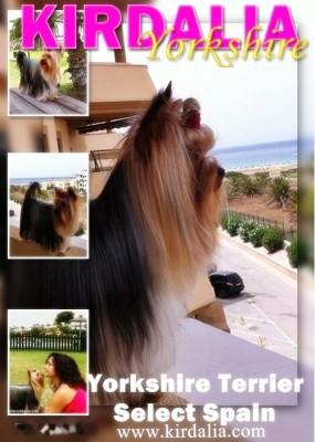 kirdalia yorkshire terrier5