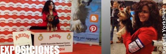 Exposiciones Kirdalia Yorkshire terrier
