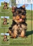 Cachorros Kirdalia Yorkshire terrier
