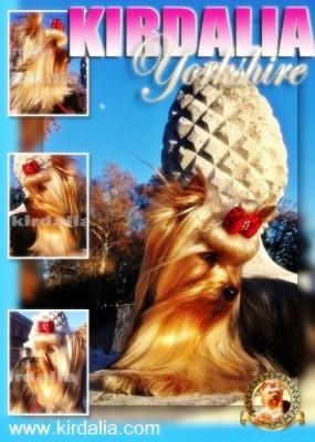 kirdalia yorkshire terrier10