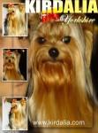 kirdalia yorkshire terrier19