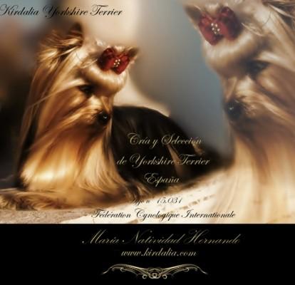 Kirdalia Yorkshire Terrier, Criadores Yorkshire Madrid Spain