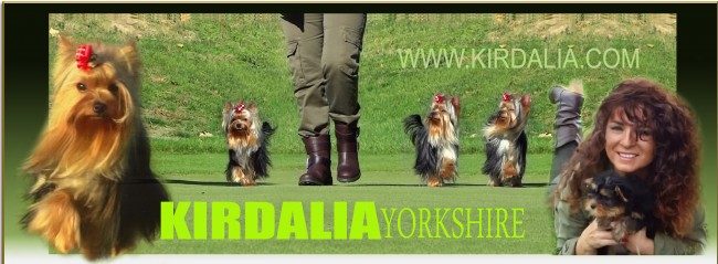 El Yorkshire Terrier es una de las razas más bellas del mundo