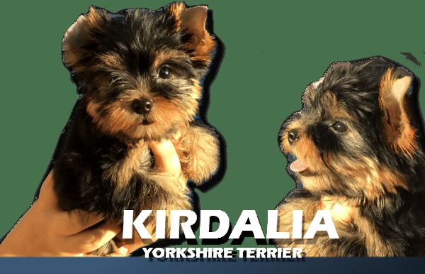 Kirdalia Yorkshire Terrier7