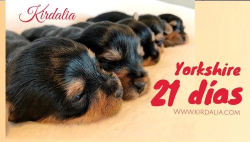 Cachorros yorkshire 21 dias