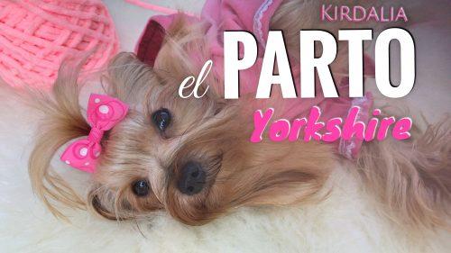 Parto completo de hembra yorkshire terrier