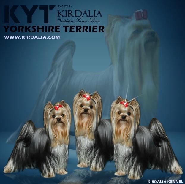 KIRDALIA YORKSHIRE TERRIER ESPAÑA