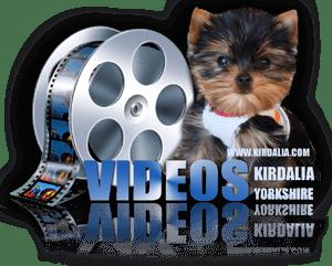 Videos Cachorros Kirdalia Yorkshire