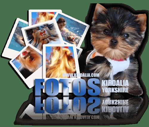 Cría y Selección Exclusiva de Yorkshire Terrier España, Pedigríes de los mejores Yorkshires Terrier del mundo