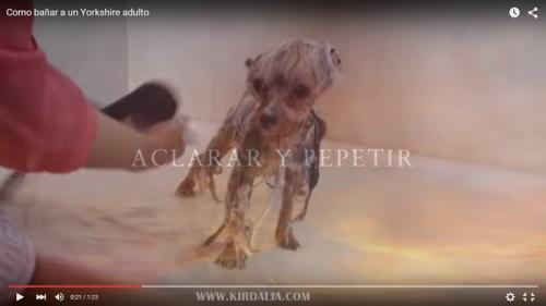 El baño del Yorkshire Terrier1.2