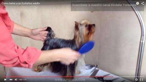 El baño del Yorkshire Terrier11