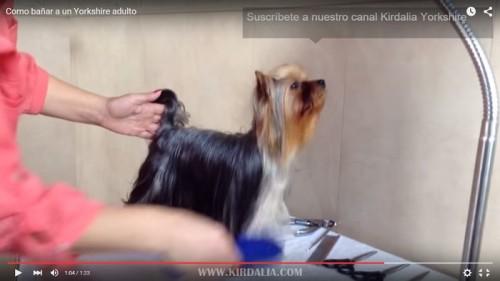 El baño del Yorkshire Terrier12