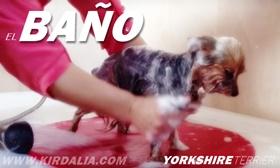 El baño del Yorkshire Terrier