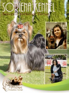 Soriena Seleción Yorkshire Terrier