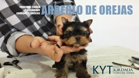 Arreglo de orejas del Yorkshire Terrier