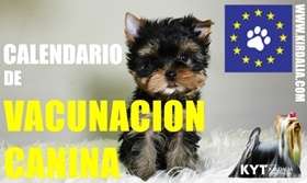 Plan de vacunación Yorkshire Terrier