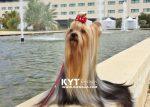 kirdalia-yorkkshire-terrier-f