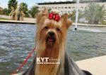 kirdalia-yorkkshire-terrier-h