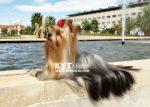 kirdalia-yorkkshire-terrier-m