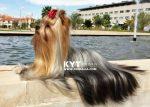 kirdalia-yorkkshire-terrier-n