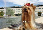 kirdalia-yorkkshire-terrier-q