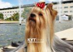 kirdalia-yorkkshire-terrier-s