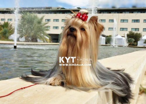 kirdalia-yorkkshire-terrier-v