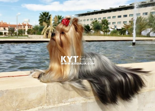 kirdalia-yorkkshire-terrier-z2