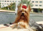 kirdalia-yorkkshire-terrier-z20