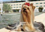 kirdalia-yorkkshire-terrier-z22