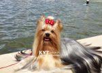 kirdalia-yorkkshire-terrier-z4