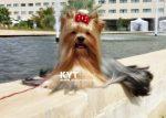 kirdalia-yorkkshire-terrier-z6