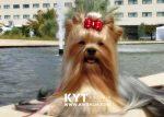 kirdalia-yorkkshire-terrier-z7