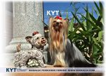 kirdalia-yorkkshire-terrier-foto-1