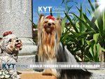 kirdalia-yorkkshire-terrier-foto-2