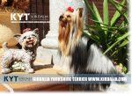kirdalia-yorkkshire-terrier-foto-3