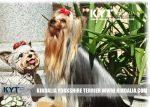 kirdalia-yorkkshire-terrier-foto-4