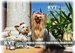 kirdalia-yorkkshire-terrier-foto-5