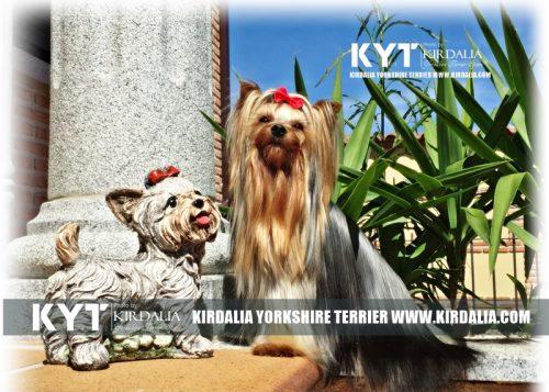 Los Yorkshire Terrier mas elegantes del mundo