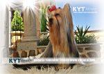 kirdalia-yorkkshire-terrier-foto-7