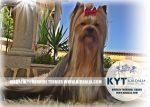 kirdalia-yorkkshire-terrier-foto-8