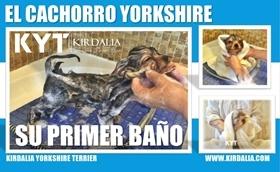 El primer baño del cachorro Yorkshire Terrier