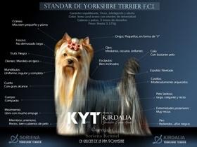 Los mejores Yorkshire Terrier del mundo3