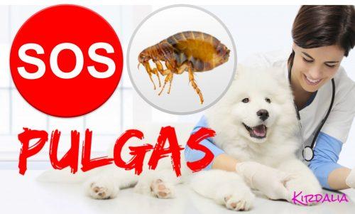 Averigua si tu perro tiene pulgas y cómo erradicarlas